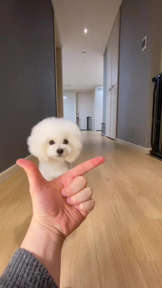 Ara 🐩Woah #woah #woahchallenge #foryou #tiktok #poodle #dogchallenge #dog #trick #dogtrick #이아라 #킴미소
