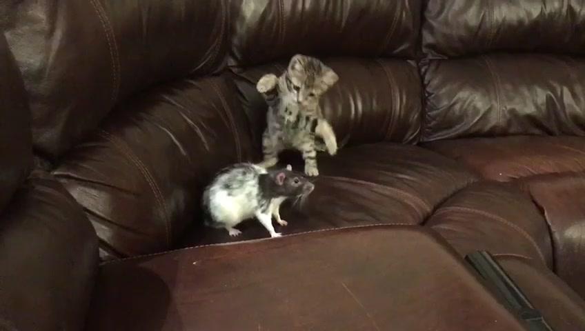 cut goes hard 🥶 #hahaha #fyp #cat #rat #ilikeyacutg #GimmeSomeTruth #foryou #dracomalfoy #foryoupage #animals tiktok