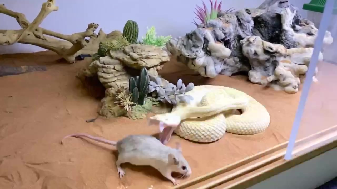 When your food grabs you #reptile #rescue #rattlesnake #dinner #yum #food #snake #wrangler #diamondback #mouse #strike #deadly #albino #love #nature of jannat ki tiktok video