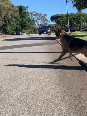 Love this sound is trending! @punkassdogtrainer Had the best session with this GSD before this happened 🤦🏼♀️ #notfriendly #reactivedog tiktok