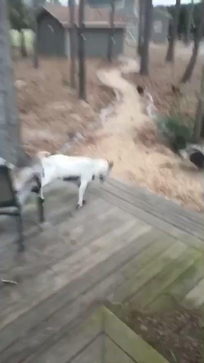 no goats were harmed in the making of this video 🙃😂 #HomeDecor #faintinggoats #faintinggoatsoftiktok #funny #animals #farm of tiktok video challenge