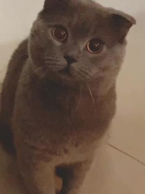 #catsoftiktok #cat #paws #scottishfold of tiktok cat