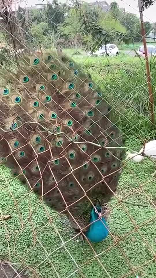 🦚🦚 #nationalbird #peacock #india #naturelove #nature #bird #beautiful #fyp #foryoupage #trending #tiktokindia of tiktok video of body in suitcase