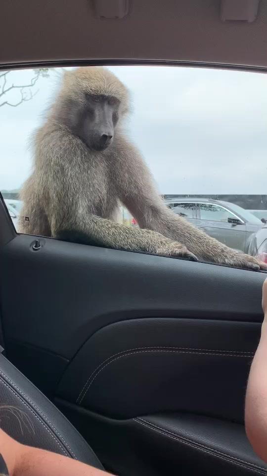 Monkey on the car 🙊😂  - 🎵🔛 #foryou #fyp #foryoupage #uk #funny #lol #safari of trending songs tik tok