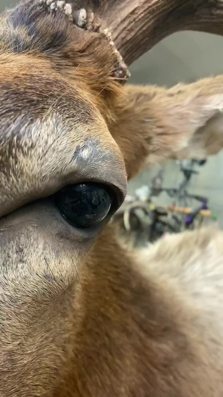 I couldn't not use this sound for an eye peel 🤷🏻‍♀️ #taxidermy #animaleyes #satisfying #eyes #eyepeel of single tiktok video